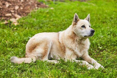 Very old white husky dog is resting on grass