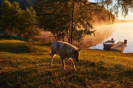Morning walk with old white husky near lake in fog