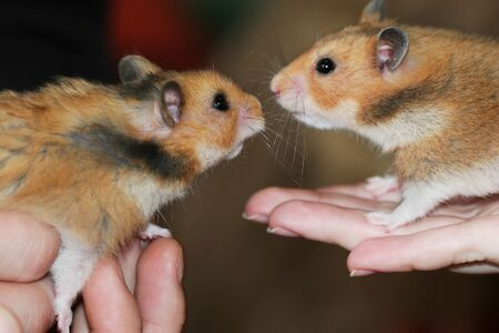 Two hamsters like each other cute romantic moment 版權商用圖片