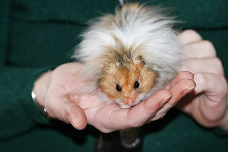 Very fluffy cute syrian hamster in owners hands