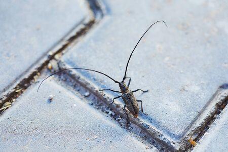 Barbel beetle on ground with huge long  mustache