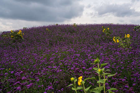 sunflower and purple flowers