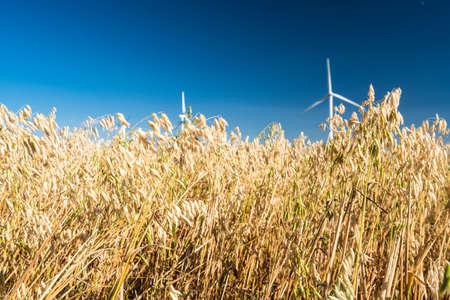 hebei: oat field