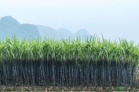 Campos de caña de azúcar Foto de archivo - 95040106