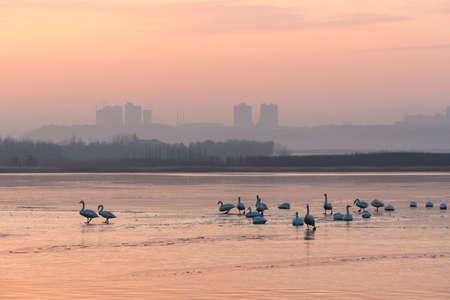 Swan on the lake 版權商用圖片