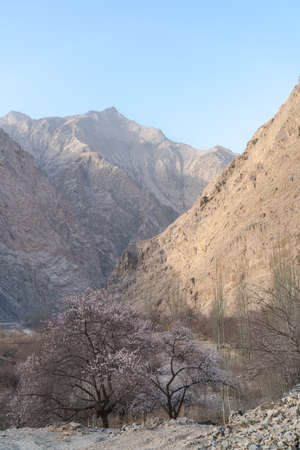 Apricot flowers on the Pamirs