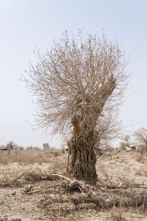 China's Xinjiang Rugao spring poplar tree