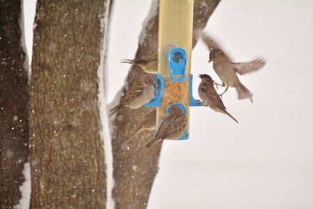 joins: A sparrow in flight joins a flock of sparrows on a bird feeder in winter