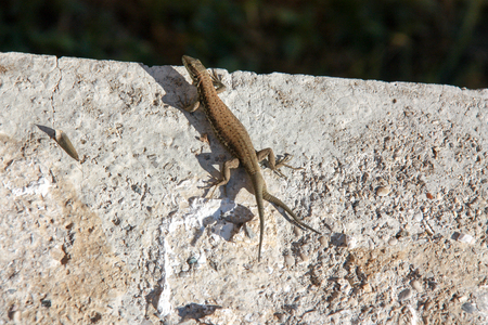 Lizard with two tails Stock fotó