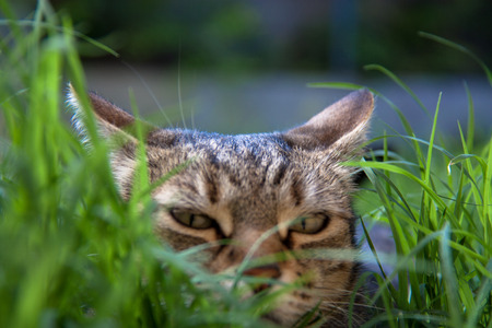 Cat during an ambush in the grass