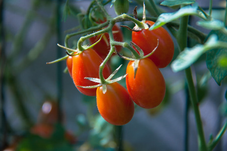 healty: Five tomatoes on the plant