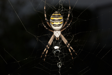 argiope spider on his web