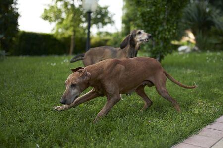 two hounds play in a meadow