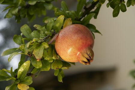 A pomegranate on a branch