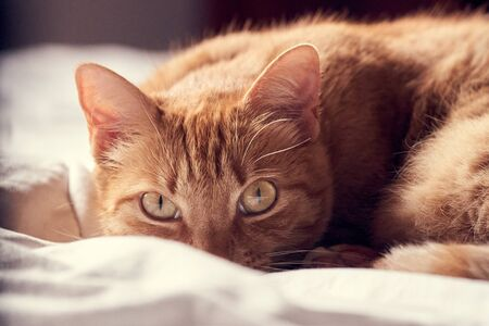 A ginger cat lying on a bed Imagens