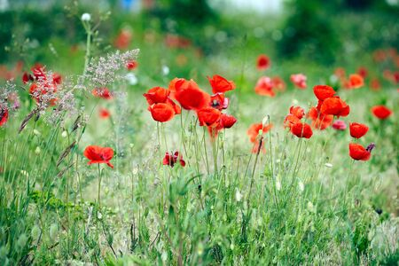 Red poppy in a field