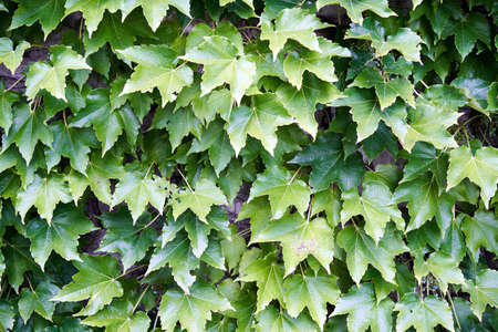 A wall covered with ivy Imagens