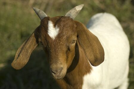 Close up portrait of a goat with meadow in the background