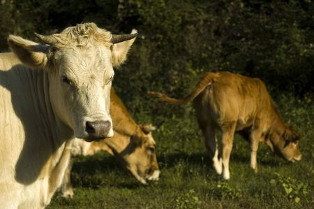 Three cows on pasture on the meadow photo