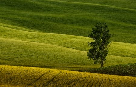 a lonely tree in the green fields of Tuscany Stock Photo