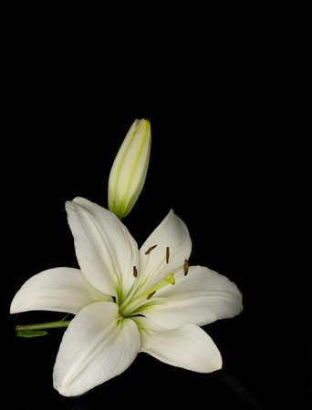 lilie: Wei�e Lilie auf schwarzem Hintergrund