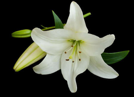 White lily on a black background photo