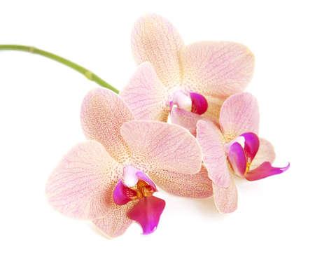 Orchidées fleurs roses sur fond blanc Banque d'images