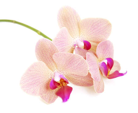 Rosa Orchideen Blumen auf einem weißen Hintergrund