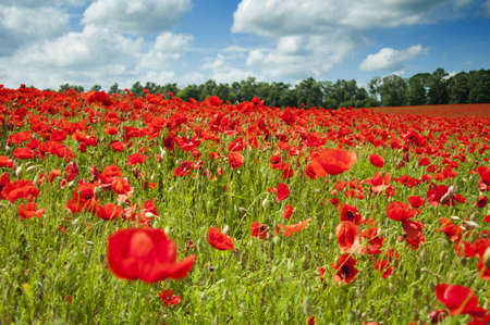 An entire fields of wonderful red poppies photo
