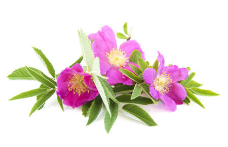 Bunch of pink dog rose on white background photo