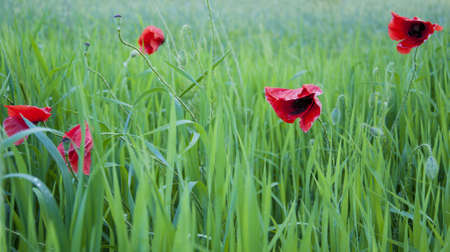 Beautiful spring red Poppies on a green field Stock Photo - 15403054