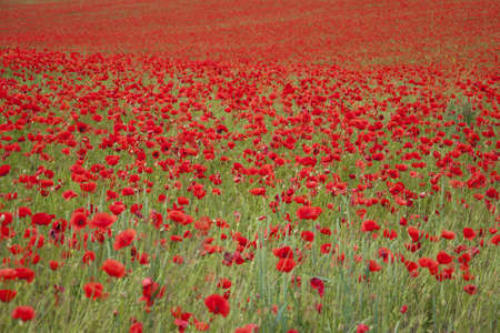 An entire fields of wonderful red poppies