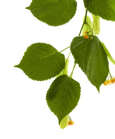 linden flowers: Flowers of linden-tree