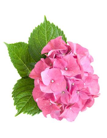Pink hydrangea mit Blättern auf einem weißen Hintergrund