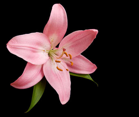 Pink lily on a black background