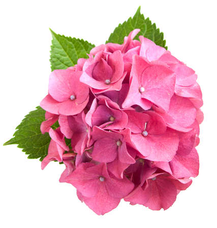 hydrangea: Pink hydrangea Stock Photo