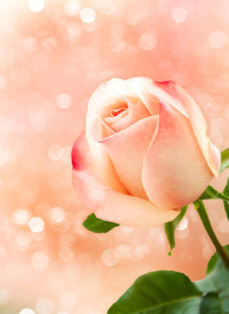 Pink rose blossoms on bokeh background photo