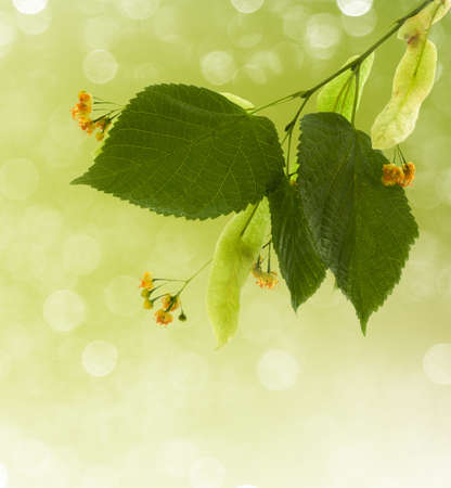 Flowers of linden-tree with bokeh light in background photo