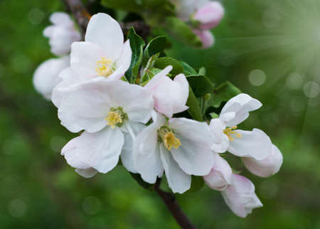 Spring apple blossom on a nature  background photo