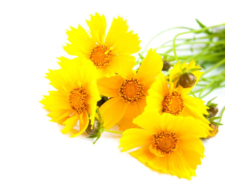 Yellow cosmos flowers on a white background photo