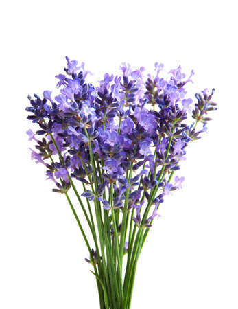 lavender coloured: bunch of lavender flowers  on a white background