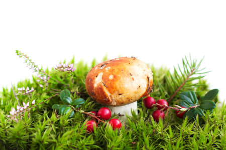 Forest mushroom in moss,  heather and cranberries photo