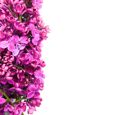 Purple Lilacs flowers on a white background Banque d'images
