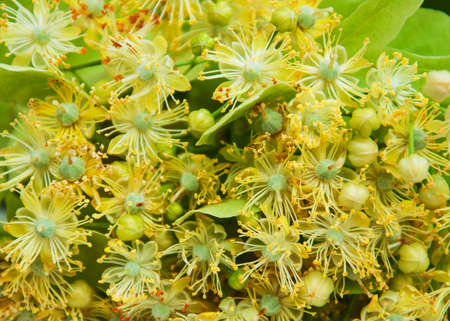 lime blossom: Linden flowers  - nature background with fresh flowers