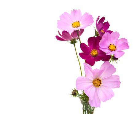 Cosmos Blumen Auf Einem Weißen Hintergrund Lizenzfreie Fotos, Bilder ...