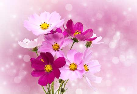 flores fucsia: Cosmos flores sobre un fondo bokeh de vacaciones Foto de archivo