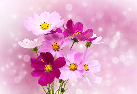 Cosmos flowers on a holiday bokeh background