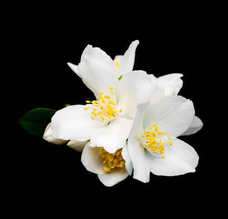 flores chinas: flores de jazmín aislados en un fondo negro