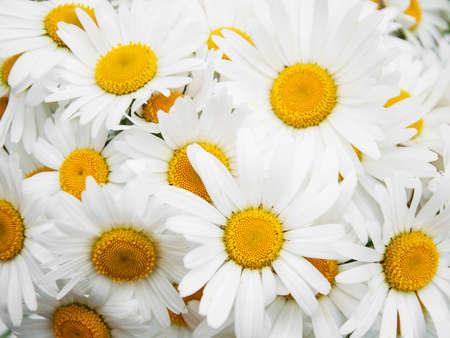 daisys: beautiful daisy flowers close up - nature background