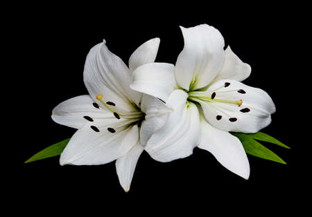 White lily isolated  on a black background